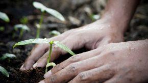 Hände beim Einpflanzen