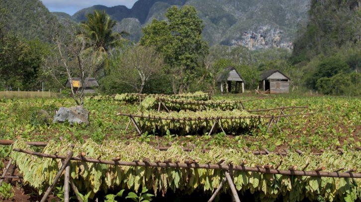 tobacco's dry field in Cuba